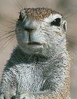 A Cape ground squirrel was staring at us on the UCF web site (photo courtesy: J. Waterman)...